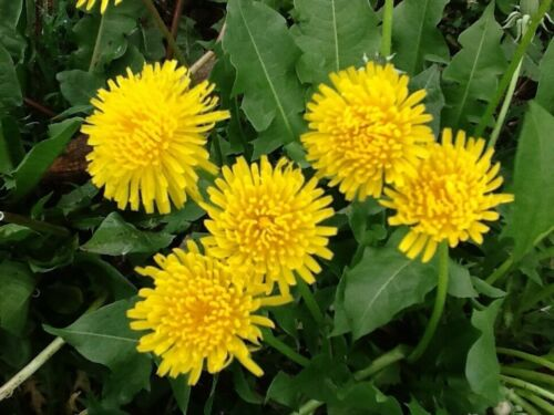 2000 Dandelion seeds (Taraxacum Officinale)