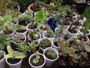 Succulent plants Plumpton Blacktown Area Preview