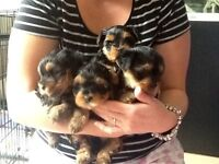4 Yorkshire terrier pups
