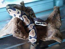 2016 Male Pastel Royal Python