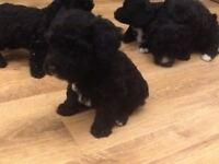 Adorable yorkiepoo puppies 2 girls Yorkshire terrier X poodle