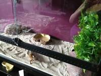 Leopard gecko and viv