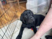 JUST TWO DOGS LEFT - KC reg Labrador retriever puppies