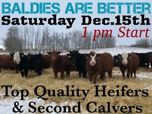 Baldies are Better Sale @ Whitewood Livestock Sat Dec 15 @ 1pm