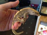 2 adult male crested geckos with viv
