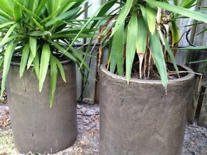 Large terracotta pots with yucca Noosa Heads Noosa Area Preview