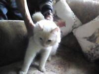Beautiful cream point Ragdoll male cat