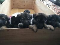 German Shepard pups
