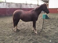 13.2hh Genuine honest pony for sale