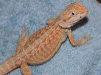 Orange bearded dragon babies
