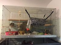 X5 female degu with cage