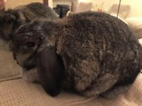 Holland lop female rabbit dark grey 3 years old, has been spayed, plus large cage.