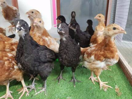 Baby chicks, pullets, hens and roosters!