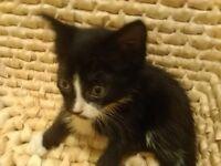 black and white 14 week old kitten