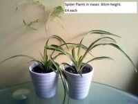 Spider Plants in ceramic vases