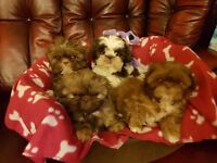 Adorable Minature/Imperial Shih Tzu Puppies For Sale.