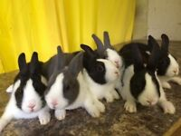 Young show quality dutch rabbits