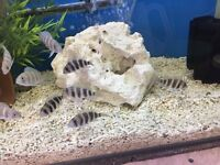 Frontosa for sale