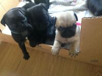 Full Bred Non Reg Pug Puppies
