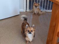 2 chihuahua's