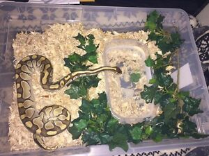 Breeding pair ball pythons Edmonton Edmonton Area image 6