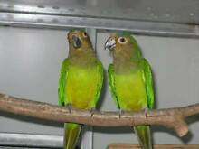 Brown Throated Conure pair Tamborine Ipswich South Preview