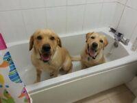 Last 3 golden labrador puppies