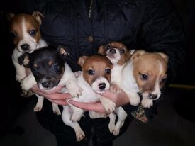 MINIATURE JACK RUSSELL PUPPIES 2 BOYS 3 GIRLS ( LOOKING FOR A FOREVER LOVING HOME ) X