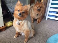 Two Pomeranians : boy & girl
