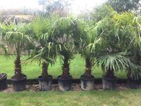 Last 3 Left. Gorgeous Hardy Trachycarpus Fortunei Palm Trees