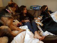 New Zealand Huntaway Dog, 14 months, very intelligent!