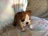 Bulldog puppies KC registered