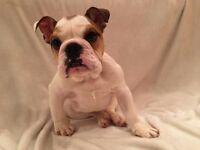 KC Reg English Bulldog puppy