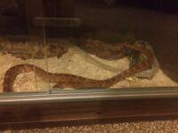 2corn snakes