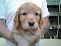 Cocker spaniel pup for sale
