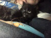 20 week old black fluffy kitten for sale