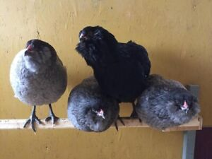 Laying hens and rooster - pure bred Ameraucana