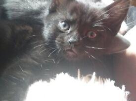 Beautiful sweet natured female kittens £300