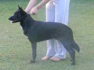 Kelpie X puppies for sale Ipswich Ipswich City Preview