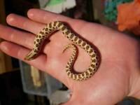 Hognose snakes