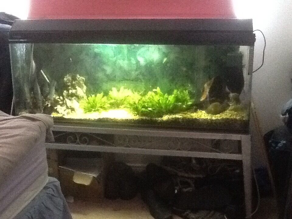 Pacu Not Piranha With 4 Foot Fish Tank Full Set Up In