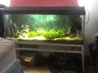 Pacu not piranha with 4 foot fish tank full set up