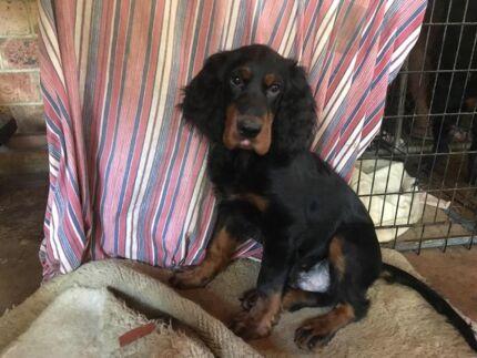 3 Male Gordon Setter Puppies - Born August 6th, 2017.