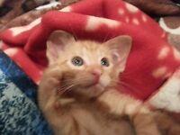 9 Weeks old female ginger kitten