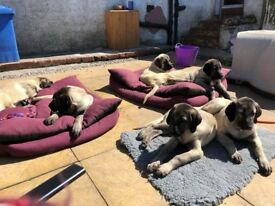 Kangal puppies for sale.
