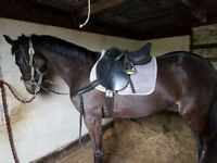 15.1 hh rising 3 year old day bay mare registered sports horse