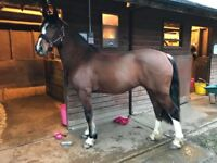 14.2 Bay Welsh Mare