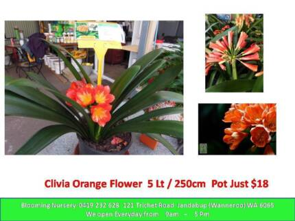 Special for the week - $12 Olive /  $18 Clivia Jandabup Wanneroo Area Preview