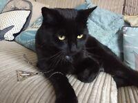 £200 REWARD - MISSING BLACK CAT IN COALVILLE AREA