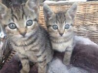 Tabby kitten for the sale